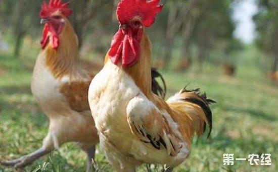 混生种鸡——台湾土鸡
