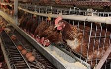 蛋鸡最佳装笼日龄是什么时候?