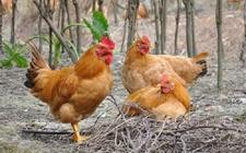 为什么养鸡要净槽?养鸡净槽的原因