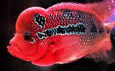 罗汉鱼得了肠炎怎么办?罗汉鱼肠炎的治疗方法