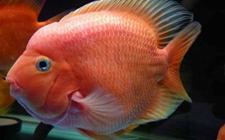 鹦鹉鱼身上有白斑怎么办?怎么治疗?