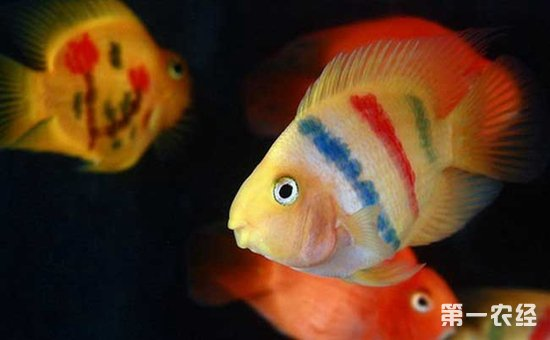 金刚鹦鹉鱼和普通鹦鹉鱼的区别有哪些图片
