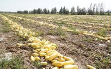 新疆裕民县党支部:试种籽用葫芦带领农户增收致富