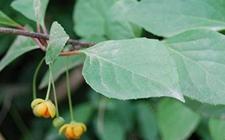 五味子病虫害有哪些?五味子常见病虫害的防治方法