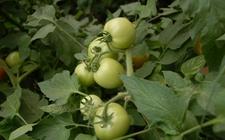 西红柿怎么育苗?西红柿早春育苗的注意事项
