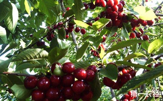 车厘子什么时候种植 车厘子的种植时间和方法 种植技术 第一农经网