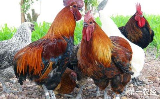 中国稀有地方鸡种——瓢鸡