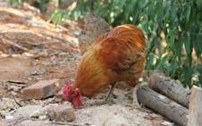 瓢鸡的经济价值如何?