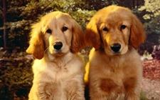 狗狗眼部常见的疾病都有哪些?狗狗常见眼部疾病介绍