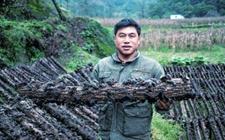 陕西勉县:小小黑木耳成特色产业 助农靠山增收致富
