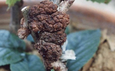 如何防治樱桃树病虫害?樱桃树主要病虫害的危害和防治