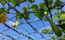 砍瓜怎么种植?砍瓜的育苗技术和种植方法