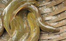 泥鳅养殖中泥鳅的常见病有哪些?泥鳅常见疾病的防治