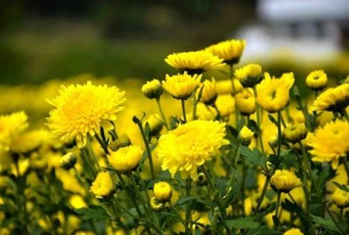 河南卢氏:皇菊种植未来可期 走出生态脱贫新路子