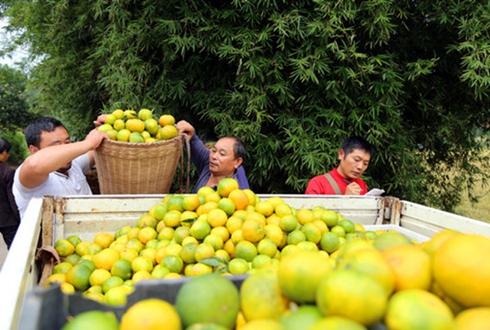 四川护国镇:蜜桔正是丰收时 农户奏响致富曲