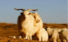 绒山羊该如何选配?绒山羊选配的原则