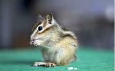 宠物松鼠有什么疾病?宠物松鼠的疾病防治方法