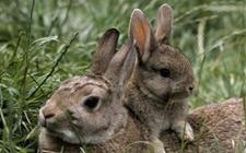 兔子容易得什么病?兔子常见病的防治技术