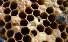 <b>蜜蜂烂子病用什么药?蜜蜂烂子病的症状和治疗方法</b>