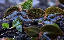 金线莲什么时候种植?金线莲的种植时间和方法