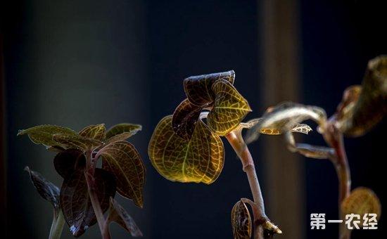 金线莲如何种植?大棚金线莲的种植技术与管理