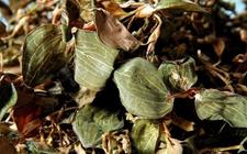 金线莲病虫害怎么防治?金线莲主要病虫害的防治方法