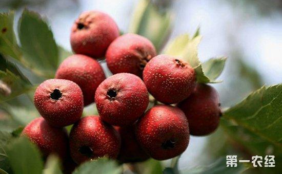 山楂树种植:成龄山楂树的综合管理增产措施