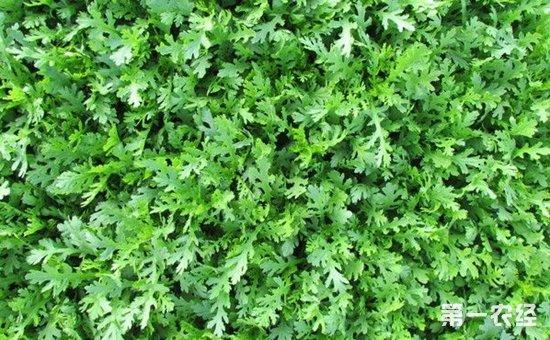 茼蒿什么季节种植?茼蒿的种植时间和方法