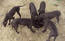 肉狗患上寄生虫病怎么办?肉狗寄生虫病的防治技术有哪些?