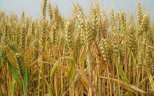 <b>国家下调2018年小麦最低收购价格并公布2018年小麦玉米的进口配额</b>