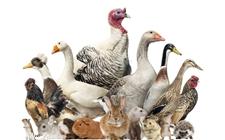 <b>匈牙利受禽流感影响贸易顺差拉大</b>