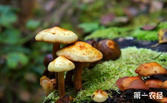 海南:6名工人误食毒蘑菇导致食物中毒  食药监局:切勿采食野生蘑菇