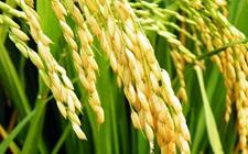 """我国发现稗草抑制水稻的""""秘密武器"""""""
