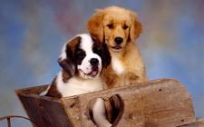 宠物狗狗感染了尿道炎怎么办?狗狗尿道炎怎么治疗?