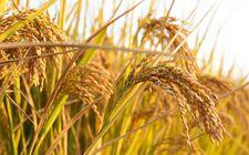 中国科学家发现水稻的穗发育基因在自然界中发生变异 可增产15%