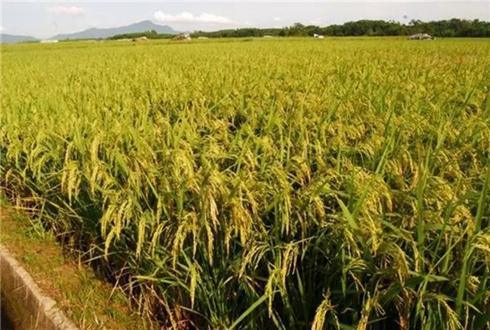 广西南丹:富硒水稻成就农户脱贫增收梦