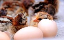 雏鸡饲养环境要求有哪些?