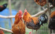 <b>藏鸡的饲养环境是怎样的?藏鸡蛋的营养价值如何?</b>