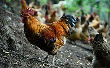 跑山鸡经济价值如何?养殖跑山鸡要投资多少?