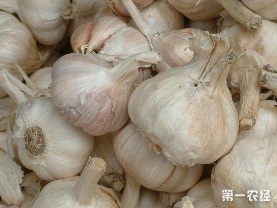 10月份大蒜价格下降 11月是否将回暖?