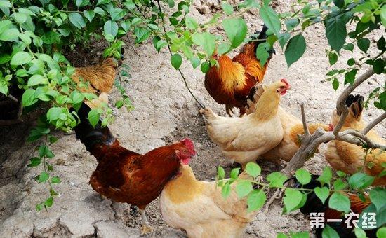 香港肉鸡当家品种——石岐杂鸡