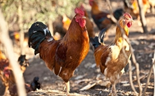 鸡的消化类型是什么型?鸡的消化生理特点有哪些?