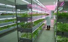 植物工厂颠覆了传统农业种植方式