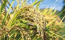 湖南省农学会组织:绿色防控技术有望搞定水稻害虫