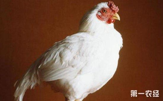 外来肉用型鸡品种——白科尼什鸡