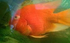 鹦鹉鱼眼睛凸出来怎么办?鹦鹉鱼眼睛凸出来怎么治疗?