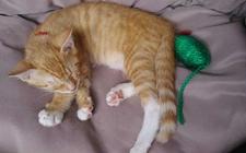 <b>猫身上有跳蚤怎么办?怎么处理猫身上的跳蚤?</b>