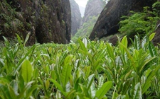 十大名茶之一:武夷岩茶