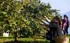 四川叙永:油茶种植成就农户脱贫增收梦