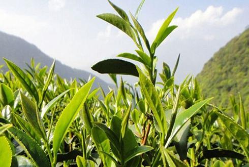 """安徽庐江:""""伤心茶""""变""""开心茶"""" 茶叶种植助农年增上万"""